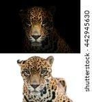 jaguar on black background and... | Shutterstock . vector #442945630