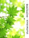 japanese maple trees | Shutterstock . vector #442952998
