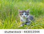 Stock photo a little cute kitten playing in the green grass 443013544