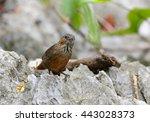 limestone wren babbler male in...   Shutterstock . vector #443028373
