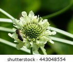 Small photo of Cephalaria gigantea, flowering plants in the family Caprifoliaceae