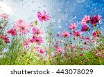Cosmos Flowers Blooming In The...