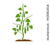 cucumber icon cartoon.    Shutterstock .eps vector #443081818