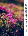 Small photo of Blooming pink rhododendron flowers (alpine rose) on the mountain hill, nature vintage hipster vertical background
