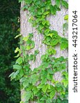Poison Ivy Growing Up A Tree I...
