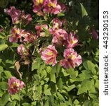 dazzling princess lilies ... | Shutterstock . vector #443230153