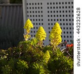 Small photo of Bright yellow large conical vivid flower head and leaves of succulent Aeonium arboreum, Sempervivum arboreum, the tree aeonium,tree houseleek, or Irish rose, is a succulent, subtropical subshrub .