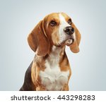Stock photo studio shot of beagle dog over light gray background 443298283
