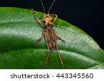 Katydid Of Borneo   Dragon Hea...