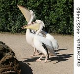 Two Quirky Great White Pelican...
