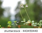 linnea  twin flower | Shutterstock . vector #443450440