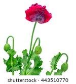 Poppy Flower Isolated On White...