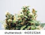 Marijuana  Plant Flowers  Clos...