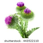 Milk Thistles Isolated On White