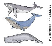 whales collection humpback... | Shutterstock .eps vector #443522818