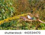 common tern  sterna hirundo  on ... | Shutterstock . vector #443534470