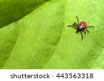 tick  ixodes ricinus  | Shutterstock . vector #443563318
