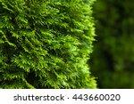 Evergreen Arborvitae  Natural...