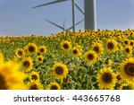 sunflowers field in front of... | Shutterstock . vector #443665768