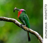 red bearded bee eater ... | Shutterstock . vector #443693773