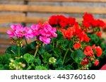 Pink Garden Geranium Flowers I...