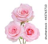pink rose flowers bunch... | Shutterstock . vector #443765710