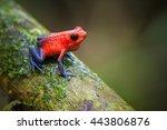 Strawberry Poison-Dart Frog (Oophaga pumilio), La Selva Biological Station, Costa Rica