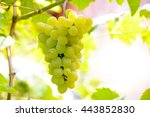 close up image of ripe bunche... | Shutterstock . vector #443852830