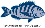 illustration of a sheepshead ... | Shutterstock .eps vector #444011050