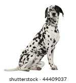 Dalmatian Dog  18 Months Old ...