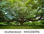 Large Samanea Saman Tree With...