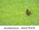 Female Eurasian Blackbird...