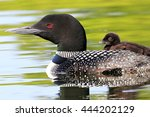Common Loon Swimming With Chick