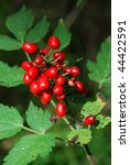 Small photo of baneberry (Actaea erythrocarpa)