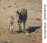 mother and child zebra walking... | Shutterstock . vector #444246916