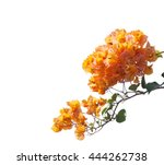 Blooming Orange Bougainvilleas...