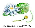 White Water Lily Flower  Nupha...