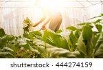soft image man harvest organic... | Shutterstock . vector #444274159