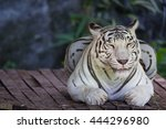 the tiger in zoo | Shutterstock . vector #444296980