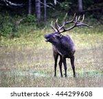 Male Bull Elk Giving His Bugle...