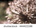 alium flower with colour filter ...