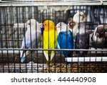Small photo of African Lovebirds (Agapornis) parrots is sitting in the cage on pet market