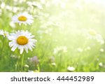 summer blossoming daisies on... | Shutterstock . vector #444452989