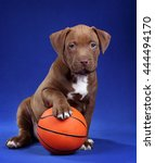 Small photo of American Pit Bull Terrier Cute Puppy with ball on a blue background