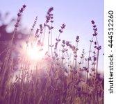 lavender on sunset | Shutterstock . vector #444512260