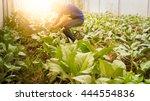 soft image man harvest organic... | Shutterstock . vector #444554836