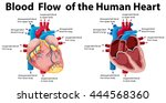 blood flow of the human heart... | Shutterstock .eps vector #444568360