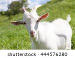 White Goat In A Field  Close Up