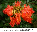 Small photo of African Tulip Tree Flower (Spathodea campanulata)