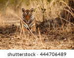 Tiger Female Is Resting In The...